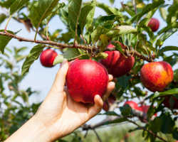 Обработка яблонь весной – защищаем урожай от вредителей!