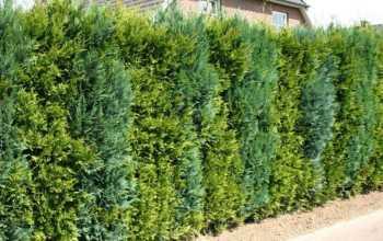 Живая изгородь из хвойных пород деревьев: красивая, практичная, надежная