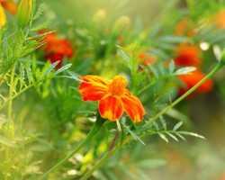 Яркие цветы у вас дома: как получить в домашних условиях большое количество рассады бархатцев без земли