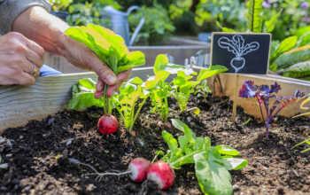 Какой редис лучше сажать на грядке, а какой можно выращивать на подоконнике