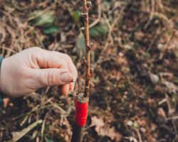 Проверенный дедовский способ прививки деревьев: описание и особенности