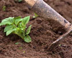 Хитрости, доступные каждому. Как окучивание поможет увеличить урожай картофеля