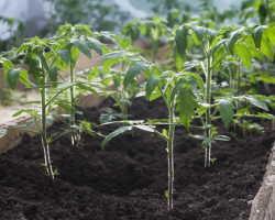 Топ-9 мифов на тему выращивания томатов на даче