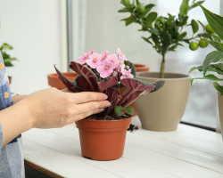 Удобрения для фиалок — как помочь растениям зацвести