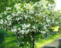 Калина Бульденеж — посадка и уход за декоративным кустарником