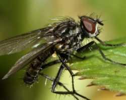 Капустная муха – как избавиться от вредителя
