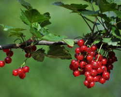 Садовая палитра: новые сорта белой, золотистой, красной и черной смородины