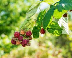 Как защитить кусты малины от болезней и вредителей