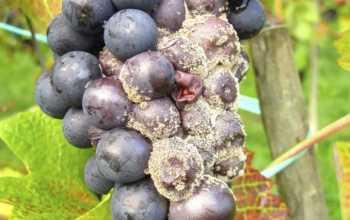 Как бороться с гнилью на винограднике: профилактика и лечение заболеваний