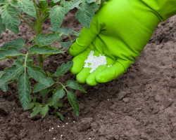 10 правил грамотного культивирования помидоров