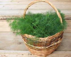 Способы выращивания сочного укропа без зонтиков