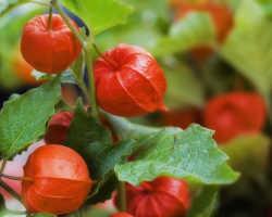 Физалис овощной: выращивание, уход и хранение