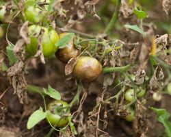 Защита помидоров от фитофтороза — как правильно обработать почву