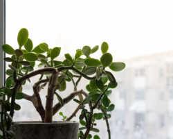Как ухаживать за денежным деревом, или Позаботьтесь о своем благополучии