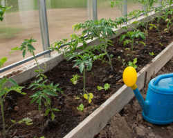 Если Вы сажаете томаты, то не забудьте бросить в лунку это