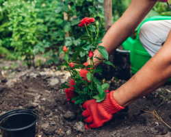 Выращивание роз в открытом грунте: необходимые сведения