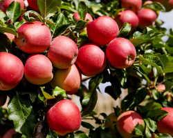 Какова подкормка, таков и урожай — чем и как подкормить плодовые деревья в августе, чтоб на будущий год они принесли хороший урожай. Полезные советы от опытных садоводов