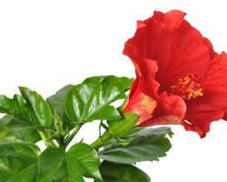 Подробно о болезнях и вредителях китайской розы и способах борьбы с ними