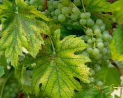 Мучнистая роса (оидиум) на винограде: профилактика и методы устранения проблемы