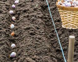 Посадка ярового и озимого чеснока весной — секреты огородников
