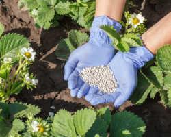 Подкормка клубники весной – какие удобрения использовать?