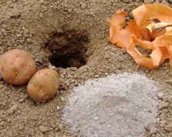 Чтобы сковородки всегда были полными. Как повысить урожайность картофеля?