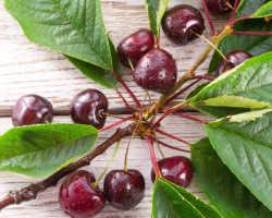 Неприхотливая черешня – сорта для выращивания в России