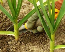 Выращивание ярового и озимого чеснока
