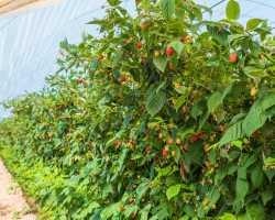 Как без ущерба для урожая омолодить свой малинник