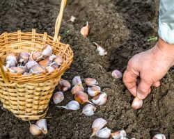 Секреты посадки чеснока в осенний период