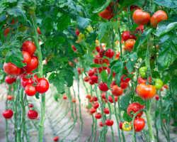Будут завязи — будут и томаты! Рассказываем, как этого добиться