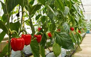 Выращивание перца: от высадки семян до урожая
