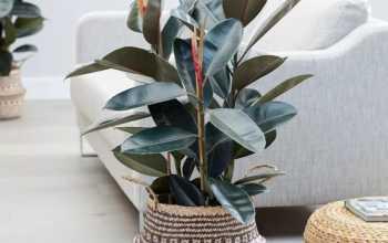 Фикус в доме: разлады или благополучие, чего ожидать от растения по народным приметам