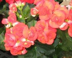Бегония: выращивание из семян в домашних условиях