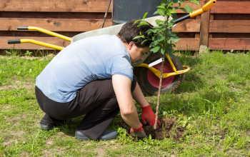 Правила осенней посадки вишни: советы опытных садоводов