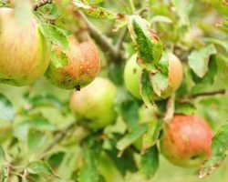 Как определить по урожаю, что случилось с яблоней