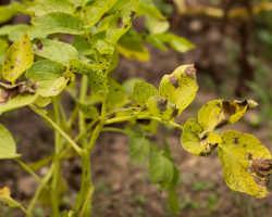 Желтые листья картофеля — не приговор! С этим можно и нужно бороться