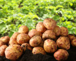 Раскрываем секреты: как добиться высокой урожайности картофеля