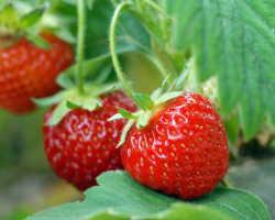 Как повысить урожайность клубники: используем метод 4 грядок
