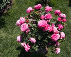 Почему розы полезно удобрять обыкновенными пекарскими дрожжами?