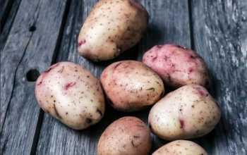 Картофель Аврора: описание сорта и секрет популярности