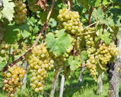Правила прививки виноградной лозы