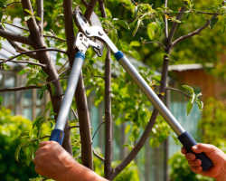 Как осуществляется обрезка сливы для увеличения плодоношения?