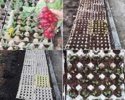 «Яично-гнездовой» способ посадки редиса