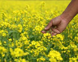 Горчица – выращиваем осенью как удобрение