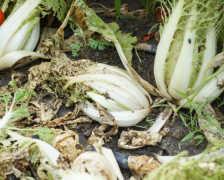 Все нипочем. Методы борьбы с килой капусты и профилактика заболевания