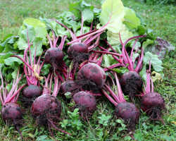 Считаю, что свекла Мулатка — один из лучших сортов этого овоща. Рассказываю, что она собой представляет и как с ней правильно обращаться