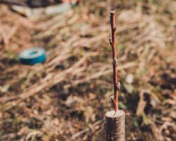 Прививаем растения правильно