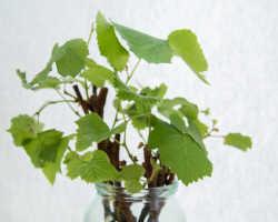 Как сажать черенки винограда весной, чтобы был отменный результат