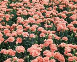 Гвоздика Шабо — как выращивать этот цветок и ухаживать за ним
